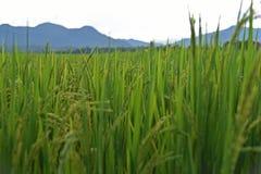 Αυτί του ρυζιού Στοκ εικόνες με δικαίωμα ελεύθερης χρήσης
