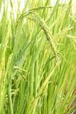 Αυτί του ρυζιού Στοκ Φωτογραφίες