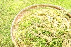 Αυτί του ρυζιού Στοκ εικόνα με δικαίωμα ελεύθερης χρήσης
