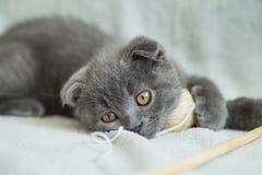 Αυταράς παιχνίδια γατακιών Γάτα της Σκωτίας, γατάκι γατάκι λίγα εύθυμα Στοκ φωτογραφία με δικαίωμα ελεύθερης χρήσης