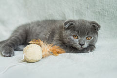 Αυταράς παιχνίδια γατακιών Γάτα της Σκωτίας, γατάκι γατάκι λίγα εύθυμα Στοκ εικόνα με δικαίωμα ελεύθερης χρήσης
