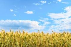 Αυτιά σίτου κάτω από το φωτεινό μπλε ηλιόλουστο ουρανό Στοκ Φωτογραφίες
