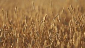 Αυτιά σίτου στον αγροτικό τομέα, ρηχό βάθος του τομέα χρυσός ώριμος σίτος πεδίω& Πλούσια συγκομιδή και γεωργικό θέμα φιλμ μικρού μήκους