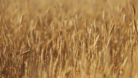 Αυτιά σίτου στον αγροτικό τομέα, ρηχό βάθος του τομέα χρυσός ώριμος σίτος πεδίω& Πλούσια συγκομιδή και γεωργικό θέμα απόθεμα βίντεο