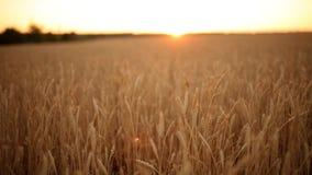 Αυτιά σίτου στον αγροτικό τομέα, ρηχό βάθος του τομέα Χρυσός ώριμος τομέας σίτου στο ηλιοβασίλεμα Πλούσια συγκομιδή και γεωργικός απόθεμα βίντεο