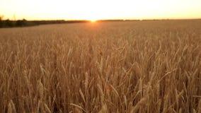 Αυτιά σίτου στον αγροτικό τομέα, ρηχό βάθος του τομέα Χρυσός ώριμος τομέας σίτου στο ηλιοβασίλεμα Πλούσια συγκομιδή και γεωργικός φιλμ μικρού μήκους