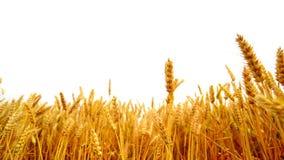 Αυτιά σίτου στο γεωργικό καλλιεργημένο τομέα πέρα από το άσπρο υπόβαθρο απόθεμα βίντεο