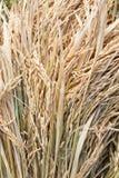 Αυτιά της λεπτομέρειας ρυζιού Στοκ Εικόνες