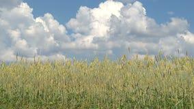 Αυτιά της ταλάντευσης σίτου στο θερινό αέρα κάτω από έναν μπλε ουρανό απόθεμα βίντεο