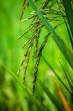 Αυτιά του ρυζιού στοκ εικόνα
