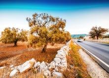 Αυτοκινητόδρομος κατά μήκος των αλσών ελιών Apulian Στοκ Εικόνες
