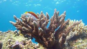 Αυτοκράτορας angelfish, Ερυθρά Θάλασσα imperator Pomacanthus Αίγυπτος Στοκ εικόνες με δικαίωμα ελεύθερης χρήσης