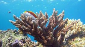Αυτοκράτορας angelfish, Ερυθρά Θάλασσα imperator Pomacanthus Αίγυπτος Στοκ εικόνα με δικαίωμα ελεύθερης χρήσης
