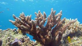 Αυτοκράτορας angelfish, Ερυθρά Θάλασσα imperator Pomacanthus Στοκ εικόνες με δικαίωμα ελεύθερης χρήσης
