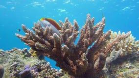 Αυτοκράτορας angelfish, Ερυθρά Θάλασσα imperator Pomacanthus Στοκ εικόνα με δικαίωμα ελεύθερης χρήσης