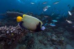 Αυτοκράτορας angelfish στη Ερυθρά Θάλασσα. Στοκ Εικόνες