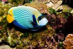Αυτοκράτορας Angelfish Στοκ εικόνα με δικαίωμα ελεύθερης χρήσης