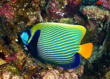 Αυτοκράτορας angelfish Στοκ Εικόνες