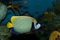 Αυτοκράτορας Angelfish (imperator Pomacanthus) Στοκ Εικόνες