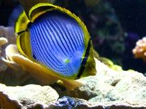 Αυτοκράτορας angelfish (imperator Pomacanthus) Στοκ φωτογραφία με δικαίωμα ελεύθερης χρήσης
