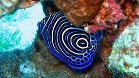 Αυτοκράτορας Angelfish. Pomacanthus Imperator, νεανικό Στοκ Εικόνα