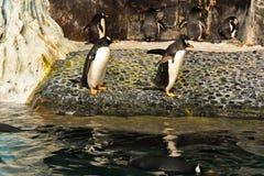 Αυτοκράτορας Penguin και φίλος κοντά στην κρύα λιμνοθάλασσα σε Seaworld στοκ εικόνα με δικαίωμα ελεύθερης χρήσης