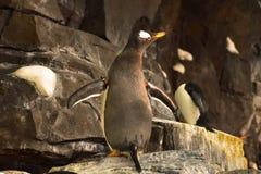 Αυτοκράτορας Penguin που ξετυλίγει τα φτερά σε Seaworld Σε αυτήν την έλξη, ο φιλοξενούμενος μπορεί να δει την προδιαγραφή πέντε στοκ εικόνα