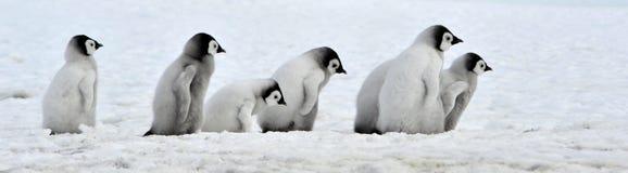αυτοκράτορας penguin Στοκ εικόνες με δικαίωμα ελεύθερης χρήσης