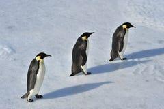 αυτοκράτορας penguin Στοκ Φωτογραφίες