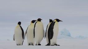 Αυτοκράτορας Penguins στο χιόνι ν Ανταρκτική απόθεμα βίντεο