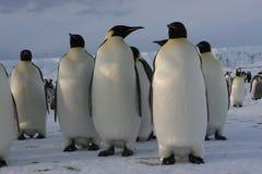 αυτοκράτορας penguins Στοκ Εικόνες
