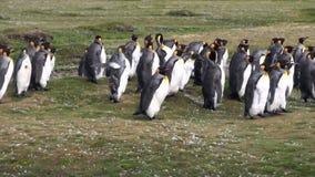 Αυτοκρατορικά penguins στις πράσινες Νήσους Φώκλαντ στην Ανταρκτική φιλμ μικρού μήκους