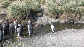 Αυτοκρατορικά penguins στον κολπίσκο στο υπόβαθρο των πράσινων βουνών των Νήσων Φώκλαντ απόθεμα βίντεο