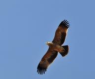 Αυτοκρατορικός αετός Στοκ εικόνα με δικαίωμα ελεύθερης χρήσης