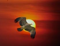 Αυτοκρατορικός αετός Στοκ φωτογραφίες με δικαίωμα ελεύθερης χρήσης