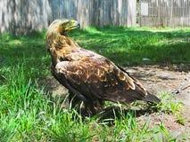 Αυτοκρατορικός αετός (heliaca Aquila) Στοκ Φωτογραφία