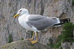 Αυτοκρατορικός γλάρος σε Capri Ιταλία Στοκ εικόνες με δικαίωμα ελεύθερης χρήσης