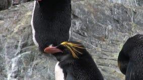 Αυτοκρατορικό άλμα penguins στη δύσκολη ωκεάνια ακτή των Νήσων Φώκλαντ στην Ανταρκτική απόθεμα βίντεο