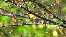 αυτό βροχή ` s Οι πτώσεις βροχής συσσωρεύουν σε έναν κλάδο δέντρων απόθεμα βίντεο