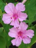 Αυτό είναι πραγματική εικόνα λουλουδιών Natutral όμορφη άγρια ρόδινη ελκυστική στοκ εικόνα