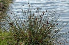 Αυτό είναι acutus Juncus, η ακανθωτή εσπευσμένη ή αιχμηρή βιασύνη, οικογένεια Juncaceae Στοκ εικόνες με δικαίωμα ελεύθερης χρήσης