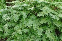 Αυτό είναι cambricum Polypodium, νότιο polypody ή ουαλλέζικο το polypody Στοκ Εικόνες