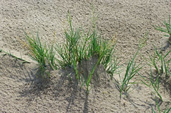 Αυτό είναι virginicus Sporobolus, ο Saltwater καναπές, οικογένεια Poaceae Στοκ φωτογραφία με δικαίωμα ελεύθερης χρήσης