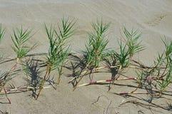 Αυτό είναι virginicus Sporobolus, ο Saltwater καναπές, οικογένεια Poaceae Στοκ Εικόνες