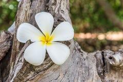 Αυτό το λουλούδι, το frangipani ή το plumeria βρέθηκαν σε ξύλινο Στοκ εικόνα με δικαίωμα ελεύθερης χρήσης