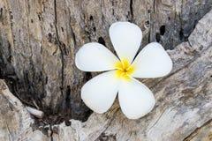 Αυτό το λουλούδι, το frangipani ή το plumeria βρέθηκαν σε ξύλινο Στοκ φωτογραφίες με δικαίωμα ελεύθερης χρήσης
