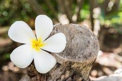 Αυτό το λουλούδι, το frangipani ή το plumeria βρέθηκαν σε ξύλινο Στοκ Εικόνες