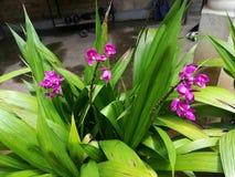 Αυτό το πορφυρό λουλούδι 3 ορχιδεών του κήπου της Σρι Λάνκα στοκ εικόνες με δικαίωμα ελεύθερης χρήσης