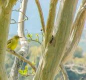 Αυτό το χαριτωμένο κίτρινο πουλί που περιμένει τους σπόρους πουλιών στοκ εικόνα