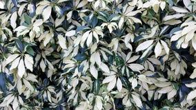 Αυτό το arboricola Schefflera ή το νάνο δέντρο ομπρελών έχει διαφοροποιήσει τα φύλλα αυξανόμενος ως φράκτης στη Φλώριδα Στοκ φωτογραφία με δικαίωμα ελεύθερης χρήσης
